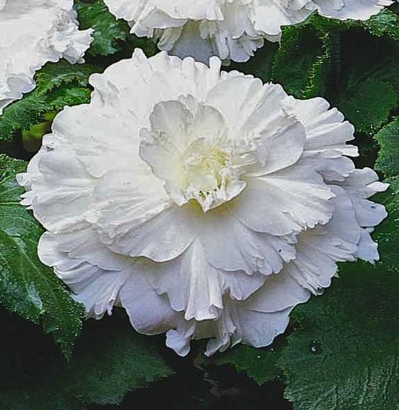White begonia for sale