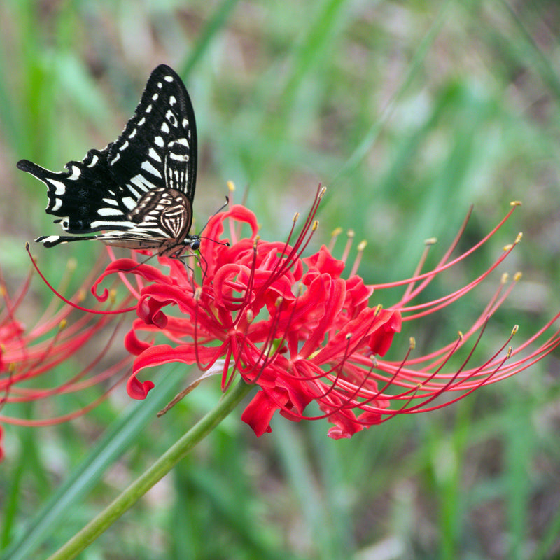 Butterfly on red spider lily flower