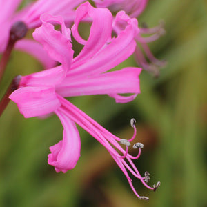 products/Nerine_Bowdenii_2_.SHUT.jpg
