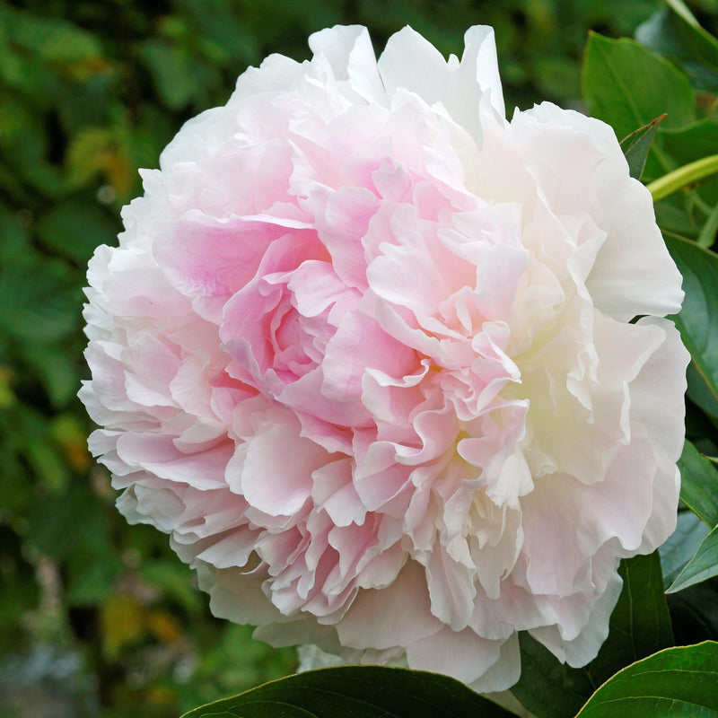 Baby Pink Peony flower Myrtle Gentry