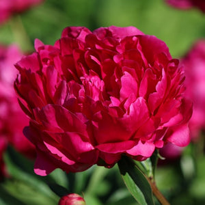 Crimson Red Peony Bulbs For Sale | Felix Crousse (Fragrant)