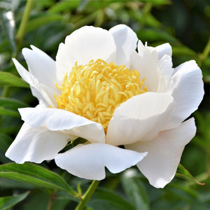 Pure White Peony Bulbs For Sale | Moon of Nippon (Fragrant)