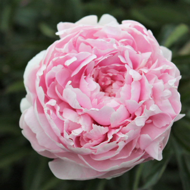 Baby Pink Peony Bulbs For Sale | Myrtle Gentry (Fragrant)