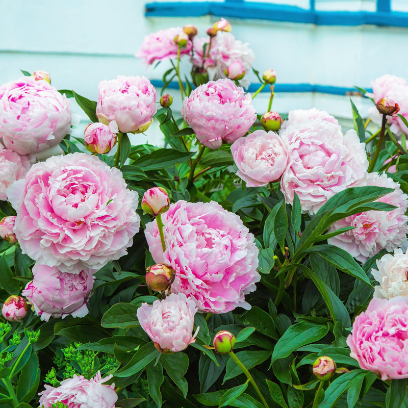 Group of pale pink peony flowers