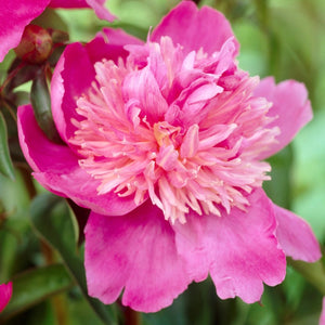 Pink Peony Bulbs For Sale | Sebastiaan Maas® (Fragrant)