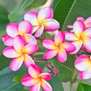 products/Plumeria_Pink_Rainbow_374561026.SHUT.jpg