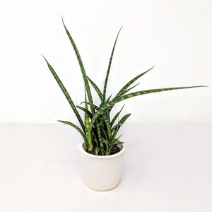 products/Sansevieria_Fernwood.DD_1_square.jpg