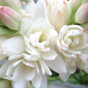 Tuberose, Double Flower Form (3 bulbs)