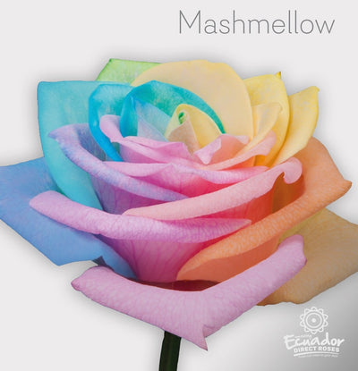 Mashmellow - Multicolor Tinted Rose