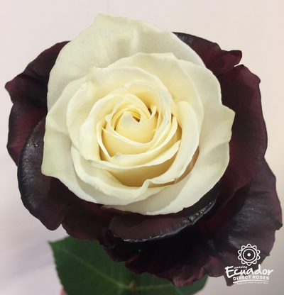 BURGUNDY CREAM -Bicolor Tinted Rose