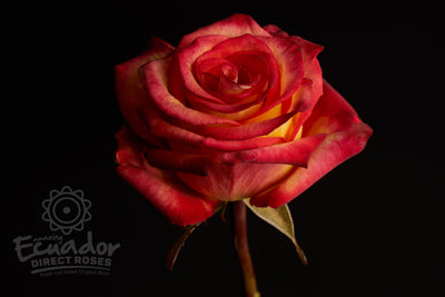 HIGH & MAGIC - Bicolor Yellow and Red Rose