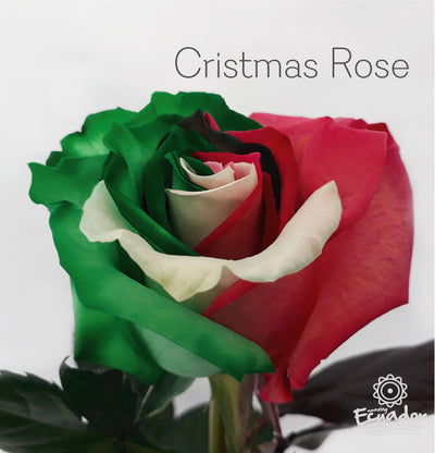 CHRISTMAS ROSE - Multicolor Tinted Rose