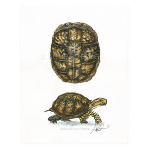 American Box Turtle Shell & Profile