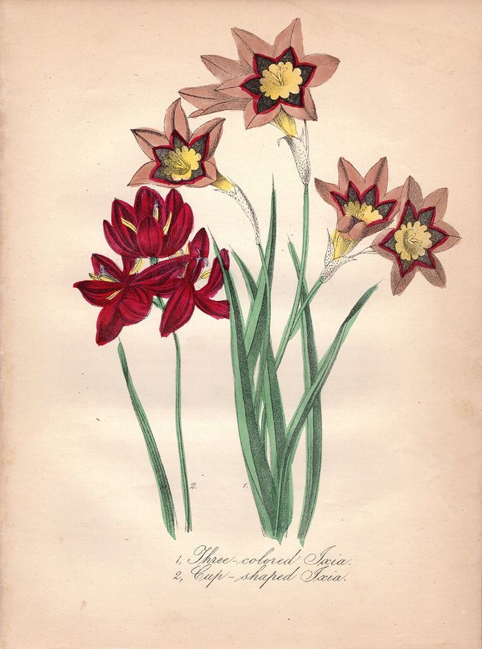 Three-colored Ixia and Cup-shaped Ixia (1850)