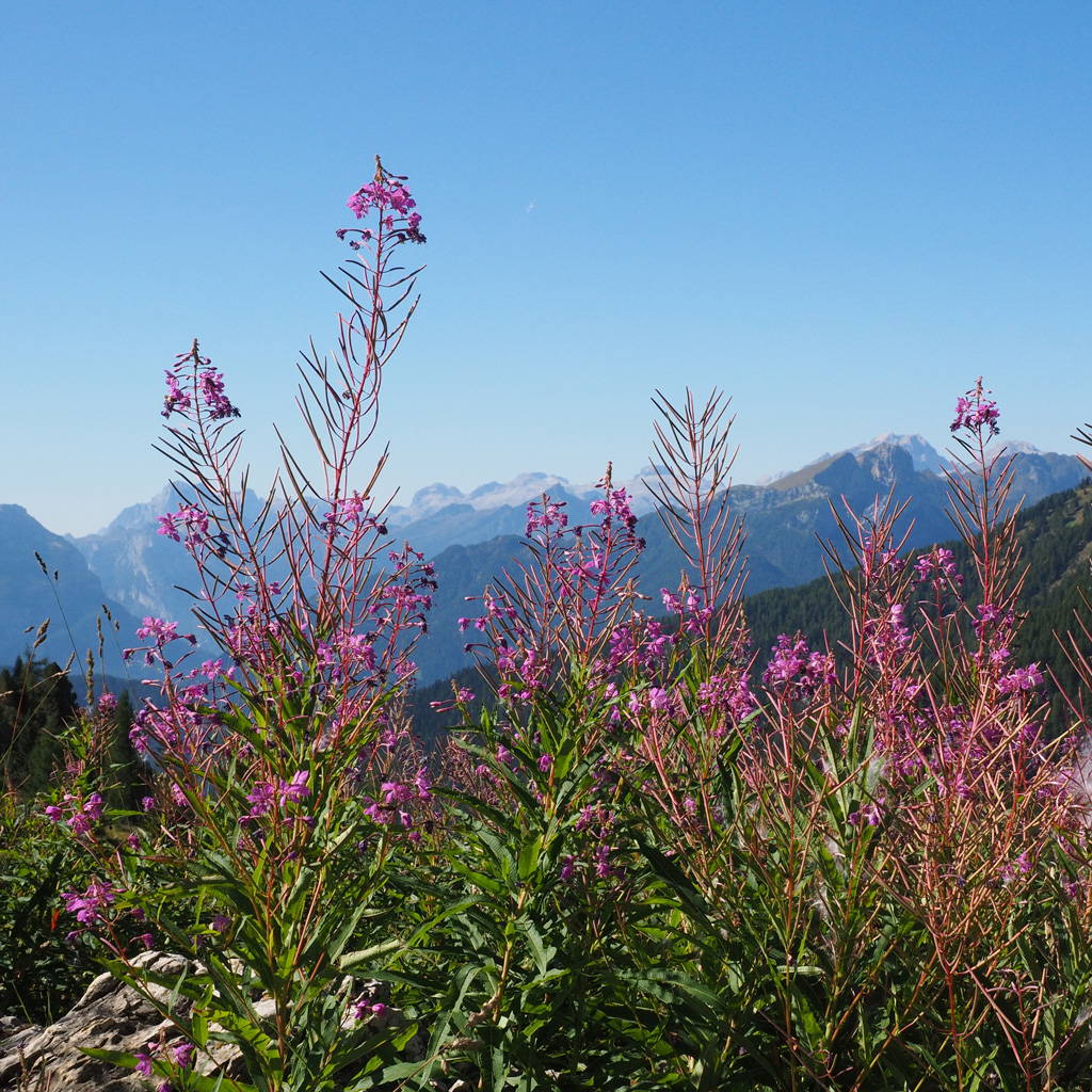Canadian Willowherb, Nature's Gift for the Skin