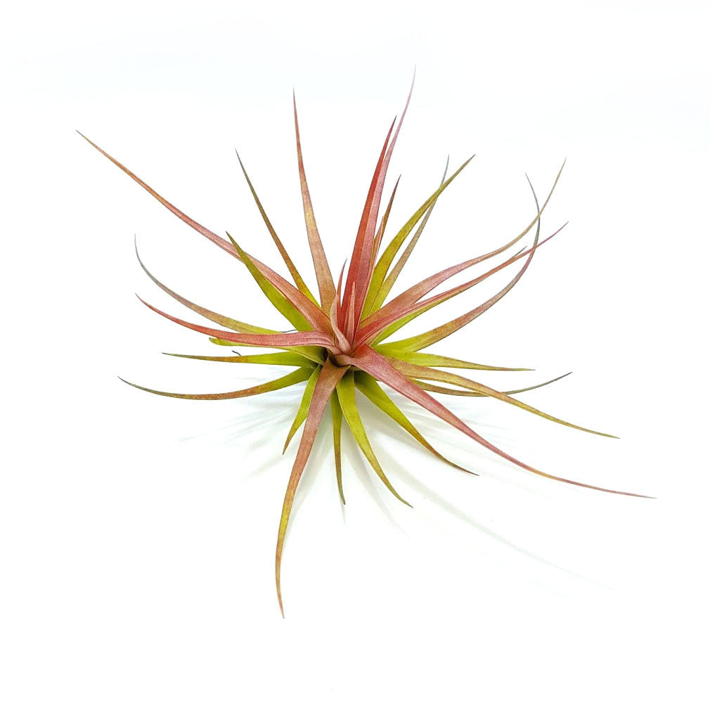 Concolor Air Plants