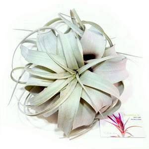 Xerographica Air Plants