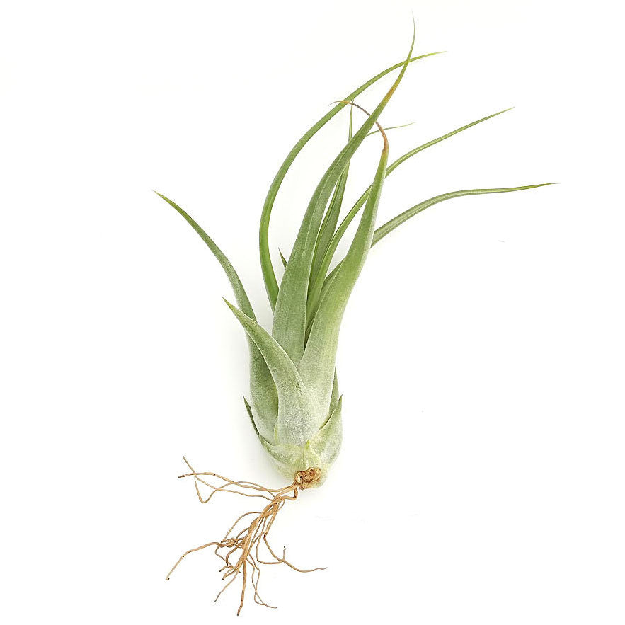 Pacifolia Air Plants