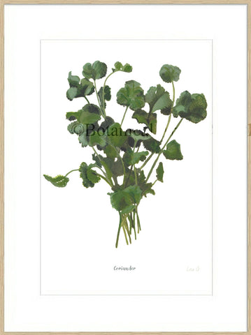 Coriander : Signed, Mounted Print