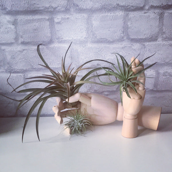 Air Plants with Wooden Hand Artist Drawing Manikin