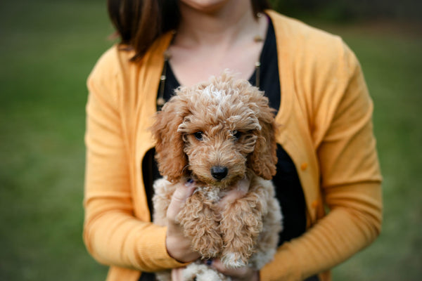 5 Family Friendly Hypoallergenic Dog Breeds