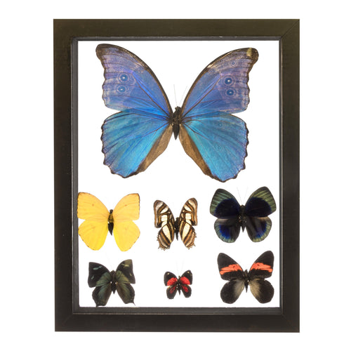 Real Insect of 7 Morpho Butterflies Taxidermy in an Entomology Gallery Style Framed Display