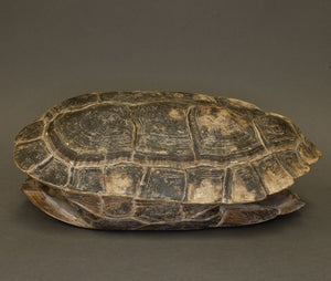 Real Giant Asian Pond Turtle Shell and Skull