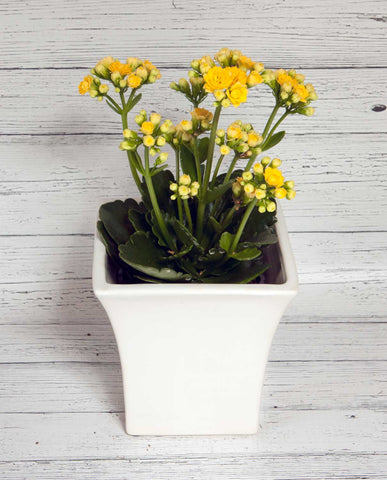 Kalanchoe with Ceramic Pot