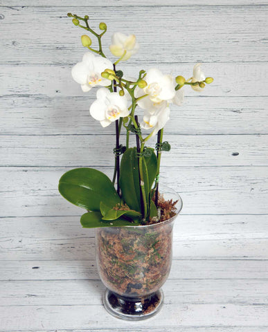 Phalaenopsis Orchid - White with Glass Pot