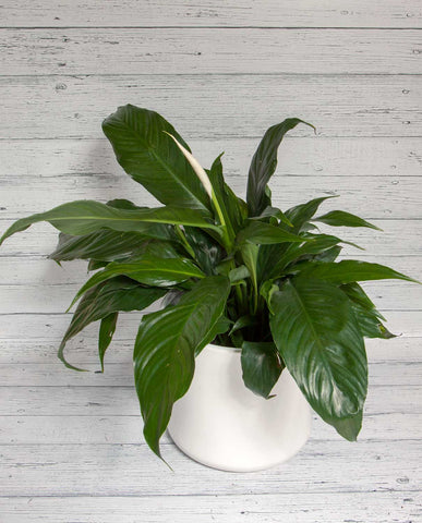 Peace Lily with Ceramic Pot