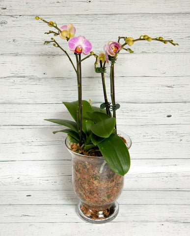 Phalaenopsis Orchid - Pink with Glass Pot