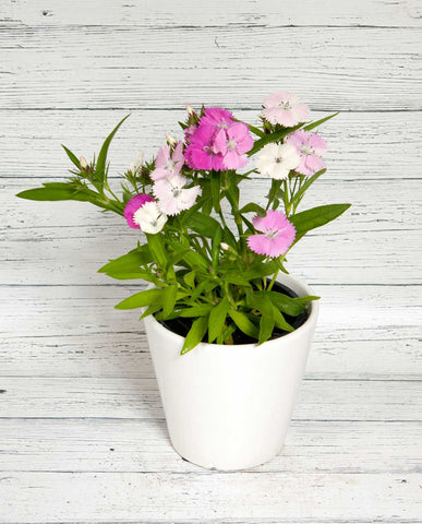 Dianthus with Ceramic Pot