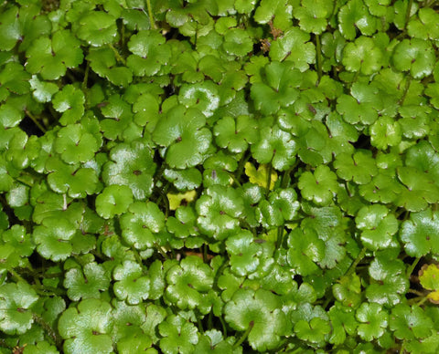 Minature pennywort (Hydrocotyle nova zealand)