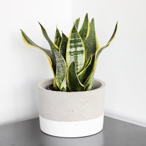 X-Large Cylinder Concrete Planter