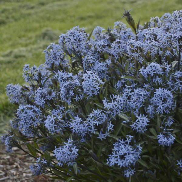 Amsonia tabernaemontana 'Storm Cloud' Photo courtesy of Walters Gardens, Inc