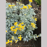 Perennials ~ Tanacetum densum ssp. amani, Partridge Feather ~ Dancing Oaks Nursery and Gardens