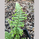 Ferns ~ Dryopteris affinis 'Cristata The King', Crested Golden-Scaled Male Fern ~ Dancing Oaks Nursery and Gardens