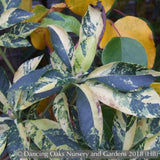 Shrubs ~ Clethra barbinervis 'Variegata', Variegated Japanese Clethra ~ Dancing Oaks Nursery