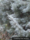 Trees ~ Cupressus arizonica v. glabra 'Blue Ice', Blue Arizona Cypress ~ Dancing Oaks Nursery