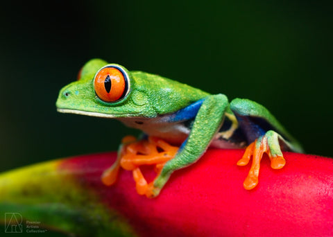 Frog one Heliconia - Bobby Tan