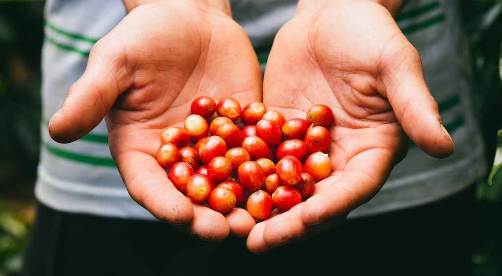 Beautiful coffee cherries in a workers hands.
