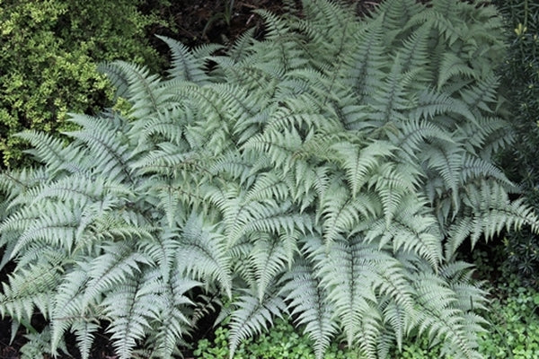 Athyrium 'Ghost'|Juniper Level Botanic Gdn, NC|JLBG
