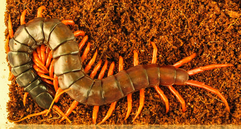 Philippines Giant Centipede (Spinosissima)