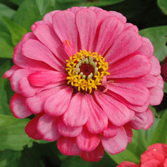 Zinnia Benary's Giant Carmine Rose