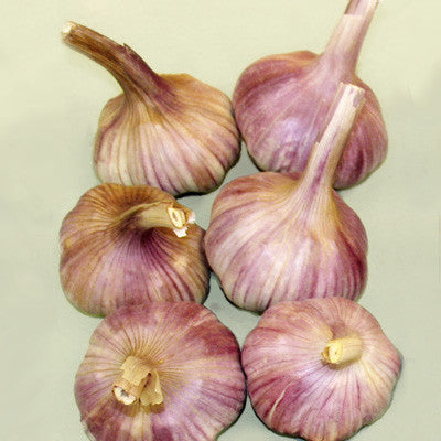 Garlic Hardneck Deerfield Purple