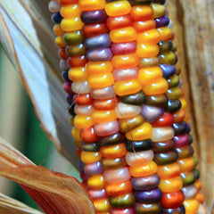 Ornamental Corn Glass Gem Organic