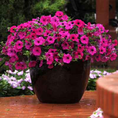 Petunia Wave Purple F1