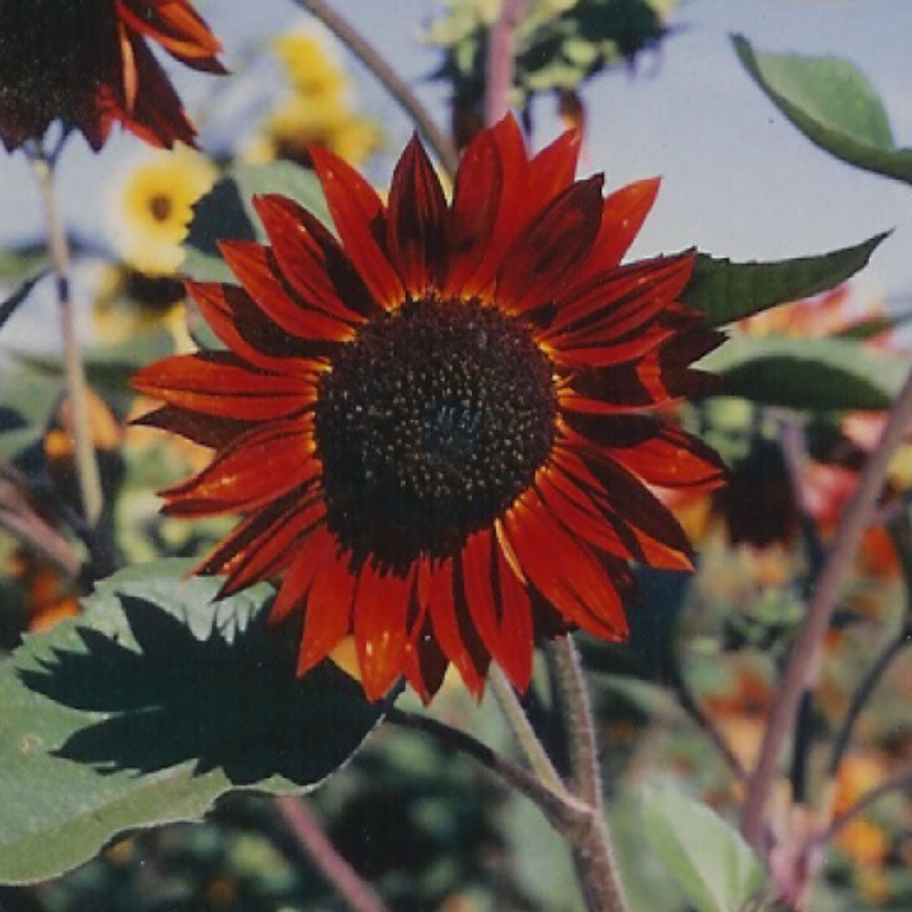 Sunflower Velvet Queen Organic