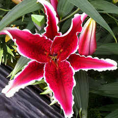 Lily Red Eyes