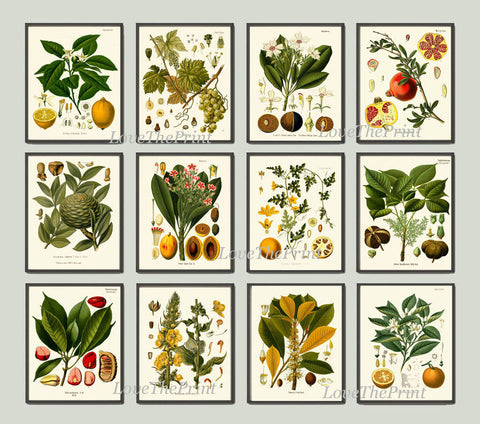Botanical Print Set of 12 Art  Antique Beautiful Lemon Pomegranate Orange Tropical Fruit Tree Spices Flowers Home Room Wall Decor KOH